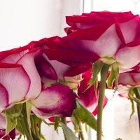Эстафетацвета. Алые розы :: Наталья (ShadeNataly) Мельник