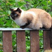 Лежала кошка на заборе, а глаза голубые-голубые... :: Вадим Синюхин