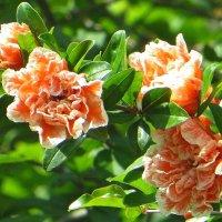 Махровые цветы граната :: Татьяна Смоляниченко
