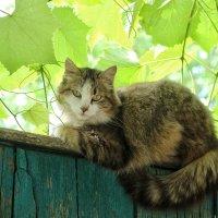 Варвара в виноградах :: Ирина Сивовол
