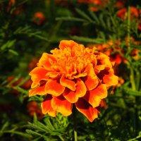 """Трудный"" цветок :: Валерий Серегин"