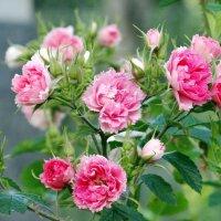 Розы гвоздикавидные. :: Алексей Цветков