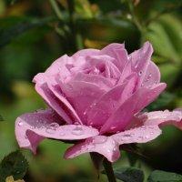 Роза после дождя. :: Алексей Цветков