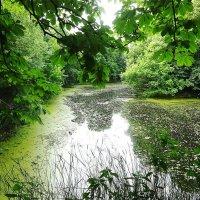 Во время цветения пруд приобретает зеленоватый, таинственный цвет :: Маргарита Батырева