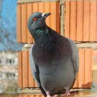 голубь :: linnud