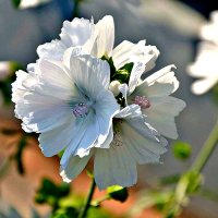 Полевые цветы. :: Михаил Столяров