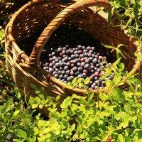 Первые ягоды :: Татьяна Ломтева