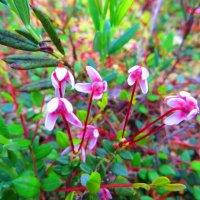 Так  цветет клюква. :: ВАЛЕНТИНА ИВАНОВА