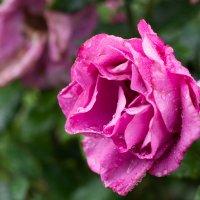 Розы нам даны природою, чтобы пахли и цвели! :: Надежда Фёдоровна