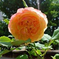 Июльские розы... :: Galina Dzubina