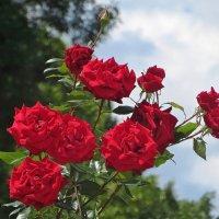 Летние розы :: Татьяна Смоляниченко