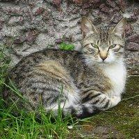 Безмятежная кошка :: Маргарита Батырева
