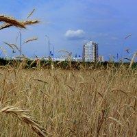 поле на окраине Гомеля :: Александр Прокудин
