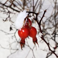 Живительный плод ... :: Олег Кондрашов