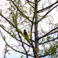 Коршун на дереве. :: Вадим Басов