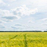 Пшеничное поле :: Alex Bush