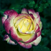 Роза :: Aleks Ben Israel