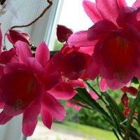 Розовый эпифиллюм. :: zoja