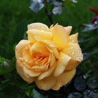 Роза :: Игорь Свет