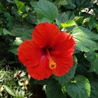 Гибискус садовый – цветок любви :: Galina Dzubina