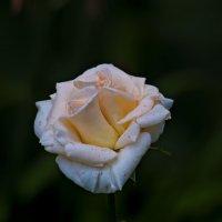 Роза :: Владимир Кроливец
