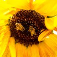 Пчелки :: Надежда Дьячук