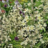Зигаденус (Антиклея) изящный - чрезвычайно стройное элегантное растение :: Елена Павлова (Смолова)