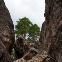 И на камнях растут деревья.. :: Владимир Питерский