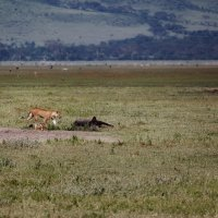 Обыденность саванны...Танзания! :: Александр Вивчарик