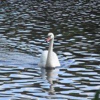 Лебедь белая плывёт... :: Маргарита Батырева