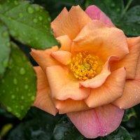 роза :: Peteris Kalmuks