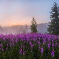 Цветы иван-чая встречают рассвет :: Фёдор. Лашков