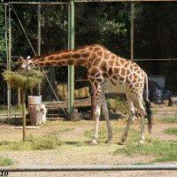 Жираф :: Нина Бутко