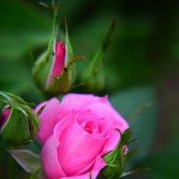 Розовое чудо :: Александра Юдаева