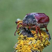 Майский жук :: Игорь Осипов