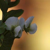 Цветки гороха :: Сергей Владимирович Егоров