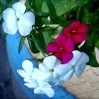 Флоксы из нашего двора :: Нина Корешкова
