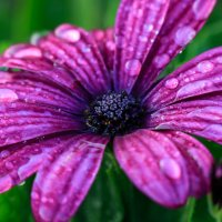 капли росы на цветке :: Алексей Тишин