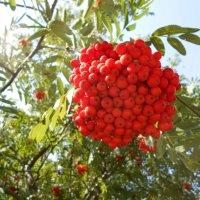Мощная гроздь рябины :: Tarka