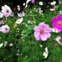 Космея радует своими яркими, трогательными цветами :: Маргарита Батырева