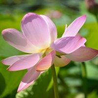Лотос – загадочной древности цвет. :: Helen Helen