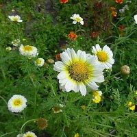 Ромашки  - маленькое солнышко с белым ободком :: Маргарита Батырева