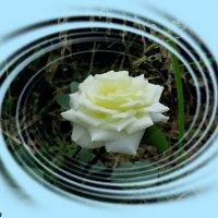 Белая роза :: Нина Бутко