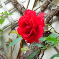 Красная роза :: spm62 Baiakhcheva Svetlana