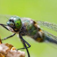 Стрекозы зелёный глаз :: Александр Синдерёв