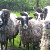 овцы :: Александра Андреева