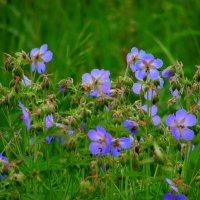 А на лугу цветёт герань. :: nadyasilyuk Вознюк