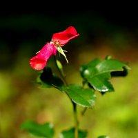 Аленький цветочек :: Владислав Карпович