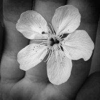 Яблонька подарила мне свой цветочек :: Катерина Клаура