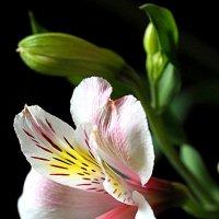 красота одного цветка :: Олег Лукьянов